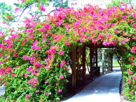 Flowered Archway at Mounts Botanical Gardens Near Golden Lakes Village
